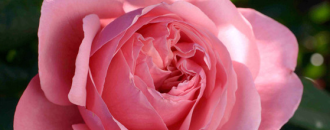 Festival des roses au parc de la tête d'or